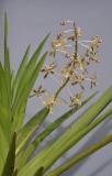 Dipodium scandens