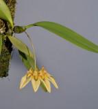 Bulbophyllum annandalei yellow form.
