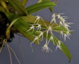 Bulbophyllum laxiflorum. Closer.