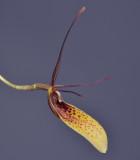 Restrepia elegans. Close-up side.