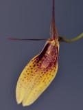 Restrepia elegans. Close-up.