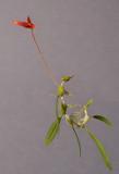 Bulbophyllum inaequale