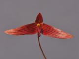 Bulbophyllum inaequale. Closer.