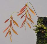 Bulbophyllum kanburiense aff.