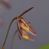 Bulbophyllum sp. Close-up side.