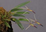 Bulbophyllum longilabre