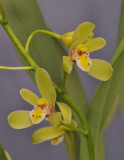 Cymbidium chloranthum. Closer.