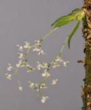 Dipteranthus sp.