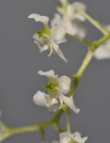 Dipteranthus sp. Close-up side.