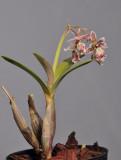 Epidendrum marmoratum
