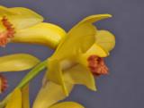Phaius flavus. Close-up side.