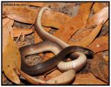 Rough Earth Snake (Virginia striatula)