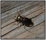 Tiger Beetle - Carolina Tiger Beetle (Tetracha carolina)
