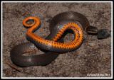 Southern Ringneck Snake (Diadophis punctatus)