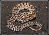 Dusky Pygmy Rattlesnake (Sistrurus miliarius barbouri)