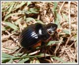 Scarab Beetle - Dung Beetle (Dichotomius carolinus)