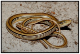 Mimic Glass Lizard (Ophisaurus mimicus)