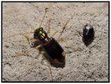 Tiger Beetle - Carolina Tiger Beetle (Tetracha carolina) and Burrower Bug (Pangaeus bilineatus)
