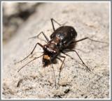 Tiger Beetle (Cicindela punctulata)