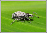 Weevil - Sri Lanka Weevil (Myllocerus undecimpustulatus)