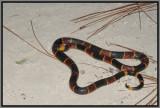 Eastern Coral Snake (Micrurus fulvius fulvius)