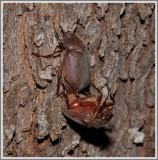 Scarab Beetle (Phyllophaga sp.)