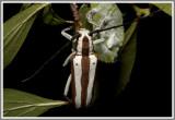 Cerambycid Beetle - Round-headed Apple Tree Borer (Saperda candida)
