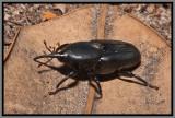 Weevil - Giant Palm Weevil Black Color Phase (Rhynchophorus cruentatus)