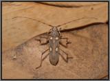 Cerambycid Beetle - Ivory Marked Beetle (Eburia distincta)