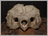 Alligator Snapping Turtle Skull (Macrochelys temminckii)