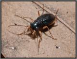 Tiger Beetle - Green Tiger Beetle (Tetracha virginica)