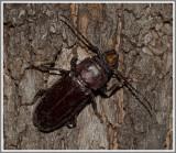 Cerambycid Beetles - Hardwood Stump Borer (Mallodon dasystomus)