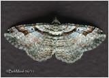 Bent-line Carpet Moth-MaleCostacovexa centrostrigaria #7416