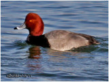 Redhead-Male
