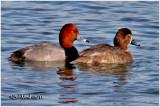 Redheads-Pair