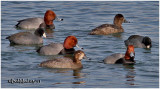 Redheads and American Coots