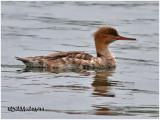 Red-breasted Merganser-ImmFemale