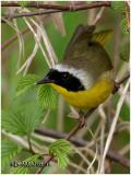 Common Yellowthroat-Male