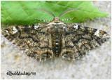 Oak Beauty MothPhaeoura quernaria  #6763
