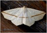 Yellow Slant Line MothTetracis crocallata #6963