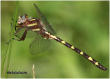 NATURAL HISTORY OF DELMARVA-DRAGONFLIES AND DAMSELFLIES