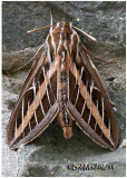 White-lined Sphinx MothHyles lineata #7894