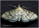 Hollow-spotted Blepharomastix MothBlepharomastix ranalis #5182