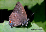Banded Hairstreak-Male