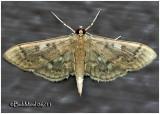 Serpentine Webworm MothHerpetogramma aeglealis #5280