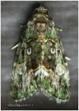 OWLET MOTHS-Family Noctuidae