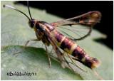 Apple Bark Borer MothSynanthedon pyri  #2565