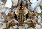 Blinded Sphinx Moth Paonias excaecatus #7824