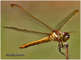 Golden- Winged Skimmer-Female