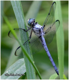 Great Blue Skimmer Male